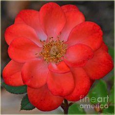 Red Rose Square II