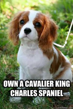 Own a Cavalier King Charles Spaniel   cavalier king charles