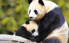 Click para Download de Ursos pandas