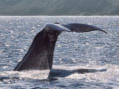 Whale watching in Kaikoura. Photo by SidPix