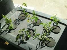 how to grow vegetables with aeroponics