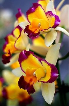 ✯ Tri-colored Orchids | Beautiful Flowers around the world