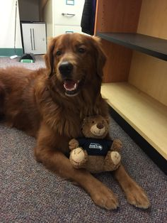 Golden retriever office Dog