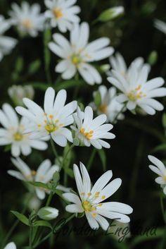 Greater Stitchwort - Stellaria holostea Amazing Flowers, Love Flowers, White Flowers, Urban Gardening, Gardening Tips, Spring Starts, Climate Change Effects, Grain Of Sand, Woodland Garden