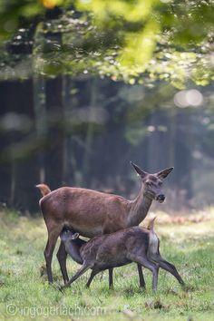 Jetzt im Oktober werden die diesjährigen Kälber des Rotwildes immer noch gesäugt.  www.ingogerlach.com