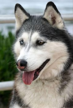 In this article amazing siberian husky dogs with you. Siberian husky my favorite type of dog. In this article amazing siberian husky dogs with you. Siberian husky my favorite type of dog. Alaskan Husky, Alaskan Malamute, Siberian Husky Funny, Siberian Huskies, Husky Tumblr, Most Beautiful Dogs, Types Of Dogs, Dog Activities, Dog Travel