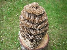 AMAZING REAL WASP NEST WILD BEE HIVE XXXL in Collectables, Animals, Taxidermy | eBay