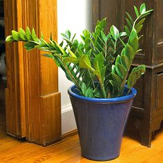 zeezee plant...best plant for indoors as it requires very little care!!