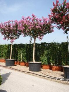 Bomen (bolbomen, leibomen, dakbomen etc), informatie en verkoop