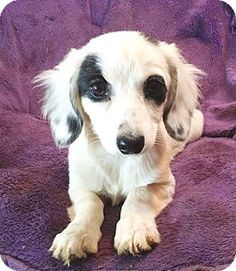 Lawrenceville, GA - Dachshund/Spaniel (Unknown Type) Mix. Meet Sierra, a puppy for adoption. http://www.adoptapet.com/pet/15717275-lawrenceville-georgia-dachshund-mix