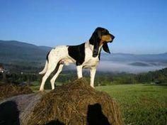 Un cousin de Merlin! Berner Laufhund (Bernese Hound) #Puppy #dogs