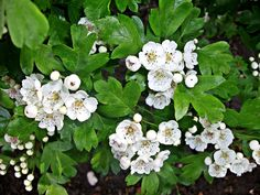 """""""Ne're cast a clout 'till May be out"""" as the saying goes. It was lovely to see the May (Hawthorn) blooming at the weekend. BUT does it mean May the flower or May the month??"""