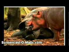Owen and Mzee-Here's an unlikely animal friendship story that is simply timeless. In December 2004, a frightened baby hippo became separated from his family during a devastating tsunami off the Kenyan coast.
