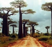 The Avenue of the Baobabs, also known as the Alley of Baobabs, is located in Madagascar but the tree may be experienced in several other parts of Africa. The largest baobab trees are considered to be in South Africa. These trees are reported to have a circumference of 160 feet (50 m