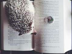 Ernest Hedgingway, the well-known bookish hedgehog, reading Marissa Meyer's CRESS