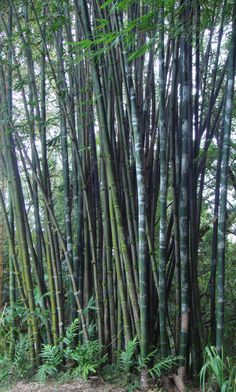 A Complete List of all the known Edible Bamboo Shoots and Species: Species Name Quality Acidosasa edulis Delicious Acidosasa Iingchuanensis Edible Bambusa balcooa Good Bambusa bambos Edible Bambusa…