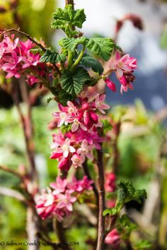 We love Ribes 'King Edward VII'  for it's colorful blooms that spruce up a grey winters day. Adorned with pendulous late winter clusters of scarlet-red flowers, well-mannered bare arching branches spawn palmately lobed medium green leaves in early spring. Following the fantastic long lasting floral show, persistent green and bright red berries, which ripen to a frosted dark blue, heighten summer appeal and come fall, finely serrated  foliage broadcasts lovely amber, pink and golden tones.