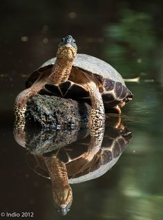BlackTurtle reflection (by Jose Calvo Indio)