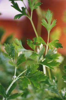 Place your pot of parsley in a sunny, preferably south-facing window, needs at least eight hours of direct sunlight each day. Water parsley when the soil is dry to a depth of 1 inch. Feed the plant with liquid houseplant fertilizer every two weeks. Harvest parsley by clipping stems just above the soil. Parsley looks and tastes best when it is fresh, so only take as much as you need at one time. The plant replenishes itself quickly.