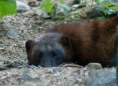 Applaud Montana Judge for Blocking Wolverine Trapping in Montana