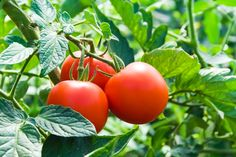 Container tomato gardening: we grow tomatoes in containers mostly for convenience, control, and flexibility. Secrets to Growing Tomatoes in Containers Ideas. Growing Tomatoes Indoors, Growing Tomatoes In Containers, Grow Tomatoes, Growing Onions, Dried Tomatoes, Tomato Garden, Tomato Plants, Horticulture, Organic Gardening