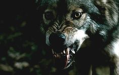Blood and chocolate werewolf