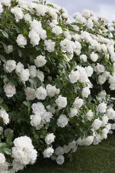 A bushy landscape shrub, 'Icecap' has pure white roses backed by dark green foliage. Grow it as a hedge or in combination plantings.                                                                                                                                                                                 More