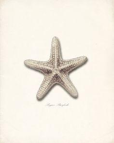 Vintage Sugar Star Sea Shell Sepia Print