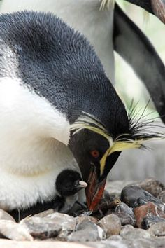 Rockhopper penguin with chick by Edinburgh Zoo Official Penguin Parade, Penguin Love, Cute Penguins, Kinds Of Whales, Squid Fish, Rockhopper Penguin, Baby Animals, Cute Animals, Flightless Bird