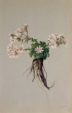 "https://flic.kr/p/fzQiv5 | ""Howell's Lewisia-Lewisia howellii"" 1908-1918 by A. R. Valentien 