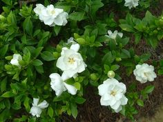 Gardenia--another old fashioned favorite