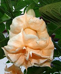 hybrid+brugmansia+named | the brugmansia x candida is a hybrid of the brugmansia versicolor and ...