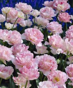 "*2014 - Tulip Angelique - Peony Flowering Tulips - 10/$8.75, 20/$13.50, 50/$29.50 -- Late April - 18"" tall"