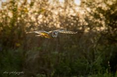 short-eared owl at sunset by wise photographie on 500px