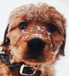 Snowy Golden Retriever Puppy