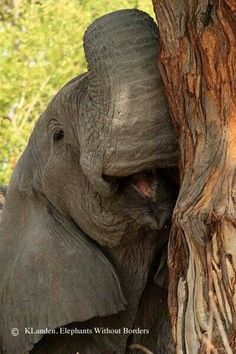 Landen, K - Baby Elephant Grinning {Only animals that hunt in packs or defend in concert grin & smile} All About Elephants, Elephants Never Forget, Save The Elephants, Cute Baby Animals, Animals And Pets, Wild Animals, Beautiful Creatures, Animals Beautiful, Baby Elefante