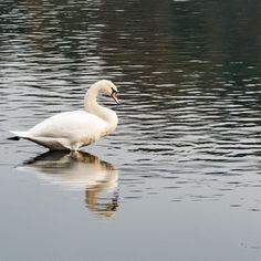 #reflectember Pt. VI: Der Schwan / The swan. . . . #sauerland #igerssauerland #lake #see #neheim #spiegelung #reflection #reflektion #symetrisch #naturephotography #beautyofnature #naturfotografie #natur #nature #animals #tiere #bird #vogel #schwan #swan #white #smalltownsnapshots