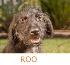 STILL AVAILABLE***Adoptable Puppy Aussie Rescue San Diego