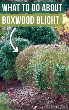 What to do about boxwood blight: Boxwood blight is a disease that can quickly ruin a gorgeous garden. If you're growing boxwood, you need to read this and learn what to do about boxwood blight. Boxwood Landscaping, Boxwood Garden, Topiary Garden, Garden Trees, Landscaping Tips, Topiaries, Garden Paths, Landscape Design Small, Flower Landscape