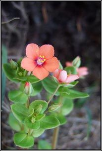 Irish Wildflowers - Scarlet Pimpernel