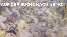 Auf der Suche nach Nemo im Roten Meer. Tauchen im Roten Meer in Ägypten. Faszinierende Unterwasserwelt mit 100 verschiedenen Korallenriffen.    #egypt #urlaub #tauchen #reisen #redsea #korallenriffe #diving #snorkling #travel #farben #erlebnis #experience #love #feel #underwater Travel Videos, Red Sea, Exotic Fish, Coral Reefs, Diving School, Snorkeling