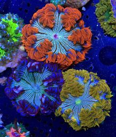 Amazing flower anemones on Reefgardener.com We handpick every coral so you can be guaranteed the best quality for your aquarium.