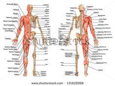 esqueleto humano do ponto de vista posterior e anterior - quadro didático de anatomia óssea humana e sistema muscular