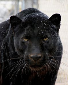 The black panther is one end of my totem animal-- in general being the black cat.