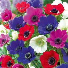 Anemone Bulbs - Mixed colors of pink, purple, white, fuchsia and red.