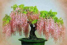 Pink Wisteria Bonsai