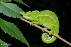 Labord's Chameleon by Marcel Felber - Photo 138381519 - 500px
