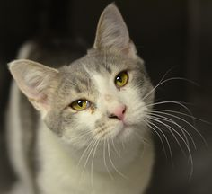 MYST - ACCT Philly: Domestic Medium Hair - gray and white • Young • Male • Small This super sweet boy is Myst. He was brought to the shelter when someone found him hanging around their home.This charming, outgoing, precious boy is putting on his best show trying to convince someone to adopt him. Don't miss out such a cutie – get down to the shelter and adopt Myst today!