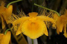 Dendrobium harveyanum - Flickr - Photo Sharing!