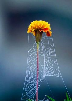 "Original Pinner says ""Even spiders love flowers. Spider Art, Spider Webs, Dew Drops, Macro Photography, Levitation Photography, Winter Photography, Abstract Photography, Amazing Nature, Beautiful World"